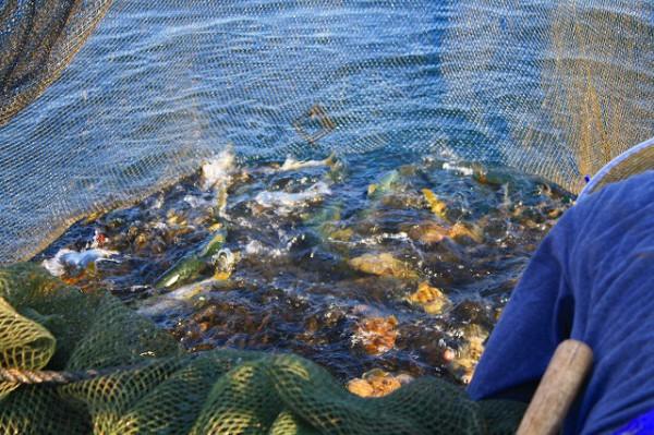 定置網漁で揚がったお魚