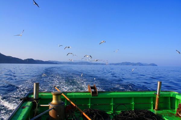 定置網漁の船を追跡するウミネコ